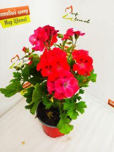 Калатея в домашних условиях: уход, фото и цветение молитвенного цветка